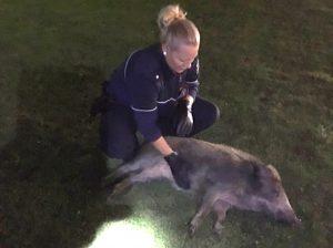 Tierrettung: Zutrauliches Wildschwein genießt Streicheleinheiten der Polizisten