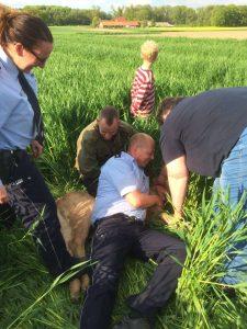 Polizist stoppt Kalb à la Rodeostyle