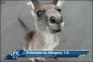 Boxendes Känguru eingefangen