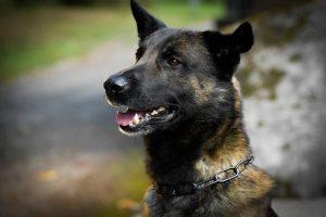 Völlig geflasht: Diensthund Flash stellt Räuber