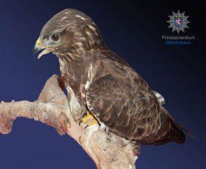 Spurensicherungsanzug wird zum Vogelnest: Greifvogel in Obhut genommen