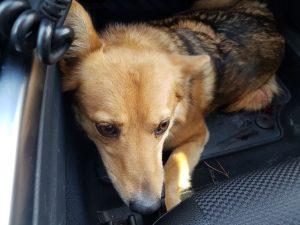 Fahndung nach Besitzer erfolgreich: Polizisten retten Hund in letzter Sekunde von Autobahn