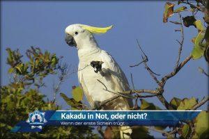 Wenn der erste Schein trügt: Kakadu in Not, oder nicht?