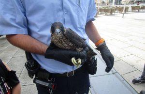 Jungfalke stürzt ab: Polizist erweist sich als Retter und Falkner