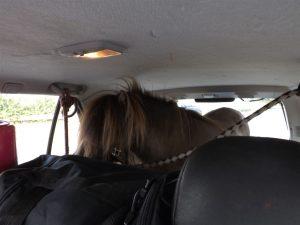 Weiterfahrt untersagt: Pony in SUV transportiert