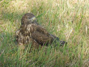 Nicht Adler, sondern Mäusebussard: Polizist wird zum Falkner
