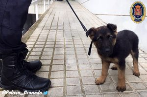 Ein ❤️ für Tiere: Polizisten retten Schäferhund-Welpe vor gewalttätigem Besitzer und bilden ihn nun zum Diensthund aus