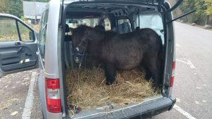 Kurios: Du, da steht ein Pony im Auto
