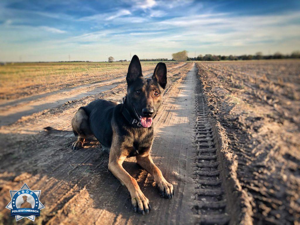 """""""Hallo, das ist Duke, ein 18 Monate alter X-Mechelaar. Wir beide durchlaufen gerade die Ausbildung zum Diensthund und zum Diensthundeführer. Grüße von uns beiden, Daniel"""""""