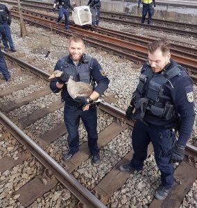 Gans schön mutig: Gans läuft durchs Gleisbett und muss von gans vielen Polizisten gerettet werden