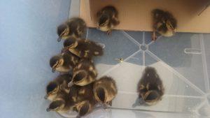 Süßer Einsatz: Bundespolizisten retten elf Entenküken aus Gleisbett