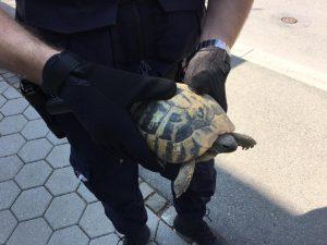 Reptilienretter: Schildkröte(n) auf Abwegen