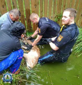 Voller Körpereinsatz: Zur Rettung eines trächtigen Rehs völlig durchnässt