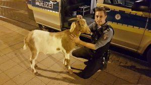 Ohne zu meckern: Ziege lässt sich bei nächtlichem Ausflug widerstandslos festnehmen