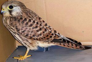 Notlandung durchs offene Fenster: Falke landet in Leitstelle der Polizei