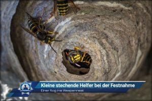 Einer flog ins Wespennest: Kleine stechende Helfer bei der Festnahme