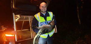 """Nach mehreren Einsätzen: Känguru """"Skippy"""" endlich in Gewahrsam genommen"""