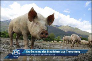 Schwein gehabt bei Schweinfurt: Großeinsatz der Blaulichter zur Tierrettung