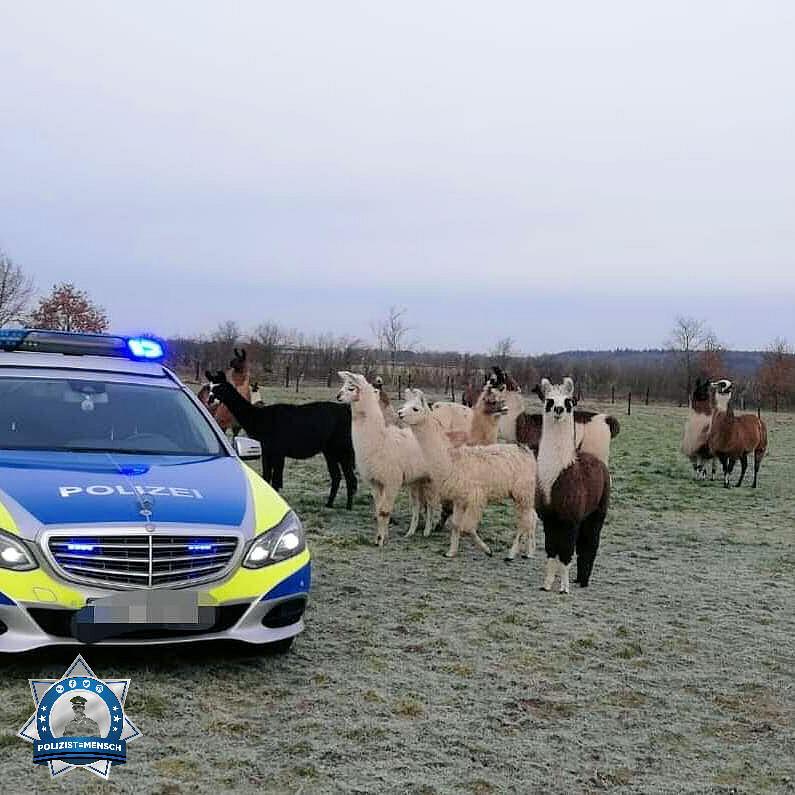 """""""Mal was Tierisches aus dem echten Norden 😉 Grüße von den Friesenlamas und Jens aus Schleswig-Holstein"""""""
