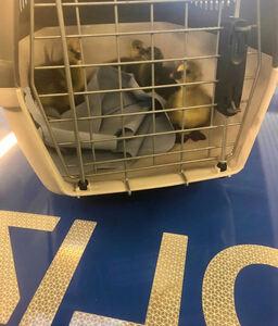 Autobahn, linke Spur: Polizisten retten Gänseküken