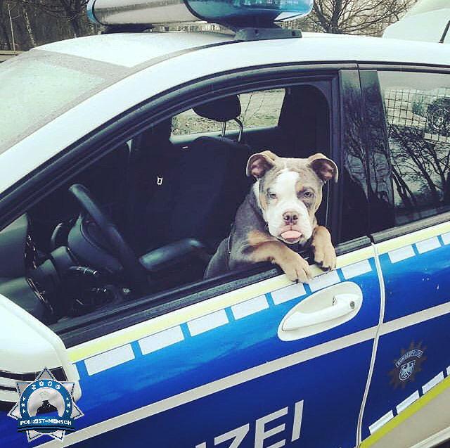 """""""Bulldogge 'Friedrich', ein angehender 'Bullizeihund'? Frech, aber sehr bürgerfreundlich. Grüße aus der Uckermark, René"""""""