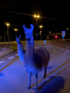 Tierrettung: Lamas auf Erkundung