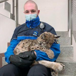 Muttertier überfahren: Polizisten retten jungen Luchs