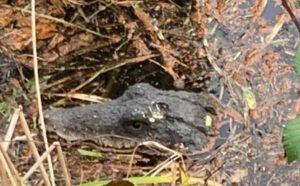 Überraschende Wendung: Krokodil in See gesichtet