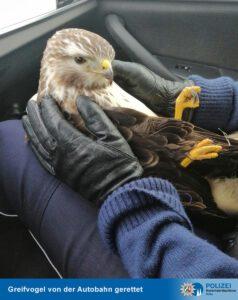 Glück im Unglück: Polizisten retten Greifvogel nach Kollision mit 40-Tonner