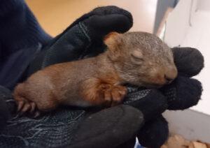 Sooo süß: Polizisten retten Eichhörnchen-Findelkinder