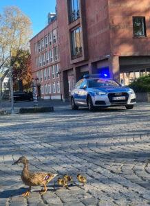 Spaziergang durch die Stadt: Entenfamilie in gemeinsamer Aktion begleitet