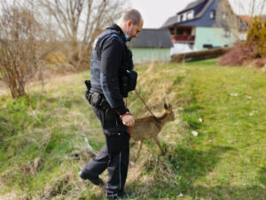 Vermutlich in Unfall verwickelt: Polizisten kümmern sich um benommenes Reh