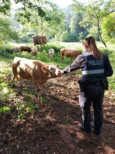 Das Lasso geschwungen: Polizisten führen ausgebüxte Kühe zurück auf die Weide